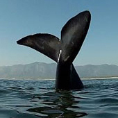 Whale Watching Tours in Hermanus